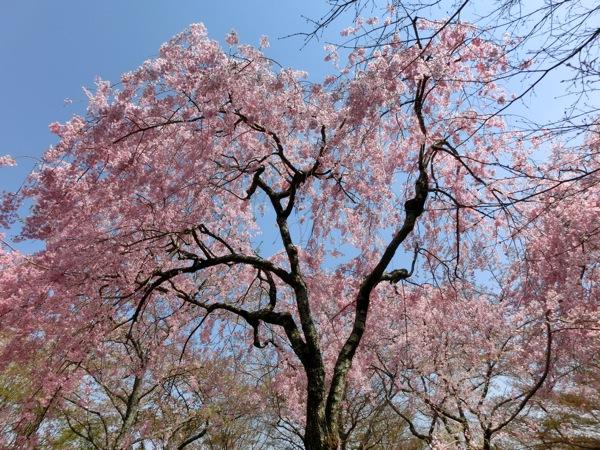 勝持寺の満開の桜